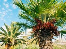 可西嘉岛海岛地中海掌上型计算机摄影被采取的结构树 日期树在黑山 免版税图库摄影