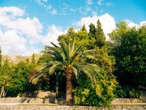 可西嘉岛海岛地中海掌上型计算机摄影被采取的结构树 日期树在黑山 免版税库存照片