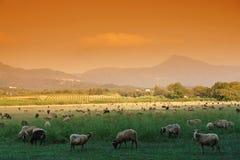 可西嘉岛绵羊 免版税库存图片