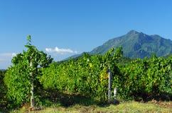 可西嘉岛葡萄园 免版税库存照片