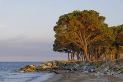 从可西嘉岛,法国的日本金松 免版税库存照片