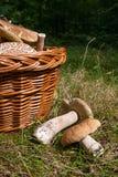 可食几个porcini蘑菇的牛肝菌蕈类,等概率圆,便士小圆面包, porci 免版税库存照片