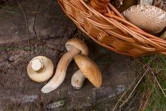 可食几个porcini蘑菇的牛肝菌蕈类,等概率圆,便士小圆面包, porci 库存图片