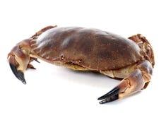 可食的棕色螃蟹 库存照片