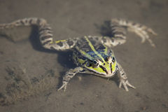 可食的池蛙本质上 免版税库存图片
