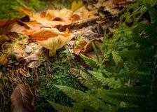 可食的牛肝菌蕈类是可食的蘑菇 在青苔的Pporcini在健康的森林和delicates食物里 采摘蘑菇在秋天森林里 免版税库存照片