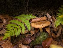 可食的牛肝菌蕈类是可食的蘑菇 在青苔的Pporcini在健康的森林和delicates食物里 采摘蘑菇在秋天森林里 库存照片