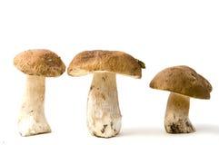 可食的牛肝菌蕈类 库存照片