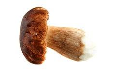 可食的牛肝菌蕈类 免版税库存照片