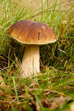 可食的牛肝菌蕈类 库存图片