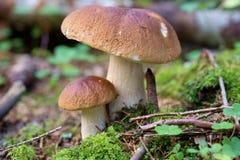 可食的牛肝菌蘑菇 库存图片
