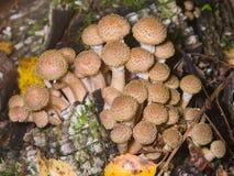 可食的蘑菇伞菌蜜环菌或蜜环菌属mellea,生长的群,宏指令,选择聚焦,浅DOF 免版税库存图片