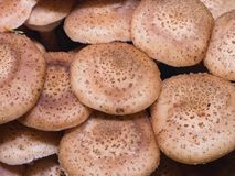 可食的蘑菇伞菌蜜环菌或蜜环菌属mellea,群盖帽,宏指令,选择聚焦,浅DOF 库存照片