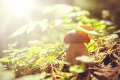 可食的蘑菇在夏天森林里 免版税图库摄影