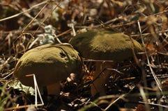 可食的蘑菇 纤巧 对盘的加法 秋天 免版税库存照片