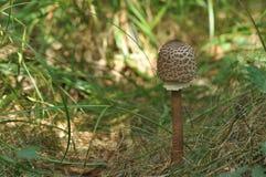 可食的蘑菇 纤巧 对盘的加法 秋天 库存照片