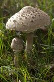 可食的蘑菇 免版税库存照片