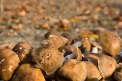 可食的蘑菇 库存照片