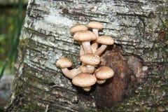 年轻可食的蘑菇 免版税库存图片