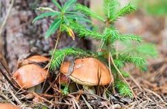 可食的蘑菇 免版税图库摄影