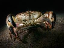可食的螃蟹,巨蟹星座Pagarus - Farne海岛 免版税库存照片
