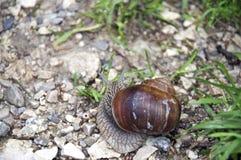 可食的螺旋pomatia蜗牛 库存图片