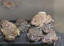 可食的青蛙两栖动物在混凝土罐栖所 库存图片
