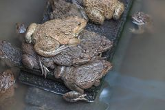 可食的青蛙两栖动物在混凝土罐栖所 免版税图库摄影