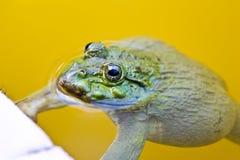 可食的青蛙在池塘 免版税库存照片