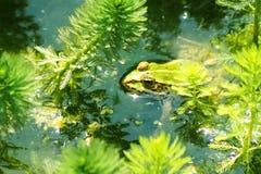 可食的青蛙在池塘 库存图片