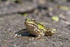 可食的青蛙,共同的水青蛙, esculentus的Pelophylax 库存图片
