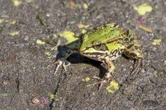 可食的青蛙,共同的水青蛙, esculentus的Pelophylax 免版税库存照片