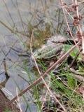 可食的青蛙 库存图片