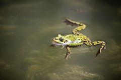 可食的青蛙 免版税图库摄影