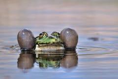 可食的青蛙- Pelophylax蛙属esculentus呱呱地叫在水中 库存图片