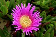 可食的Carpobrotus,一棵多汁植物,爬行,当地对C 免版税库存图片