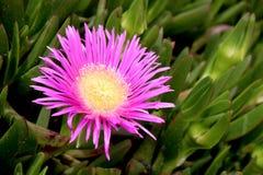 可食的Carpobrotus,一棵多汁植物,爬行,当地对C 免版税库存照片