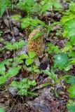 可食的esculenta真菌morchella羊肚菌蘑菇贵重物品 库存图片