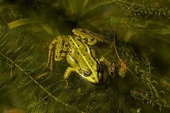 可食的esculenta青蛙蛙属 免版税库存图片