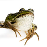可食的esculenta青蛙蛙属 库存图片