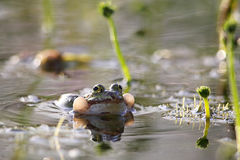 可食的esculentus青蛙pelophylax 免版税库存图片