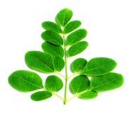 可食的moringa叶子 免版税库存照片