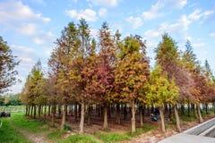 台南六甲,台湾- 2018年1月26日:有蓝天的五颜六色和美丽的冬天落羽松distichum森林 免版税库存图片