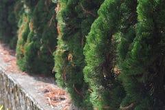 台湾杉树 库存照片