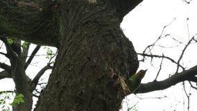 台湾热带巨嘴鸟,Megalaima nuchalis,研磨器的热带巨嘴鸟,一只五颜六色的鸟 股票视频
