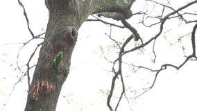 台湾热带巨嘴鸟,Megalaima nuchalis,研磨器的热带巨嘴鸟,一只五颜六色的鸟 股票录像
