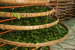 台湾的嘉义市,茶工厂劳工的长的Misato疆土垂悬Oolong茶(茶第一个过程:烘干茶) 免版税库存照片