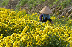 台湾的雏菊农厂收获 免版税库存照片