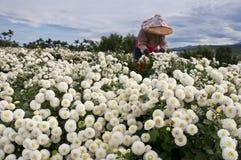台湾的雏菊农厂收获 库存图片