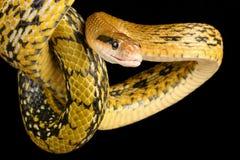 台湾秀丽蛇 库存图片